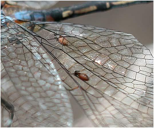 Diptère parasite, sans doute Forcypomyia sp. sous l'aile de Tirthemis stictica, Namibie, Mayuni conservancy near Bum Hill, Kwando River, 16/02/2020