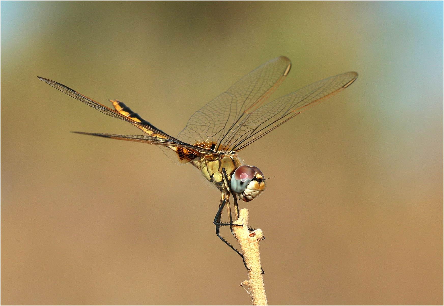 Urothemis edwardsii femelle, Ethiopie, Turmi, 29/10/2018