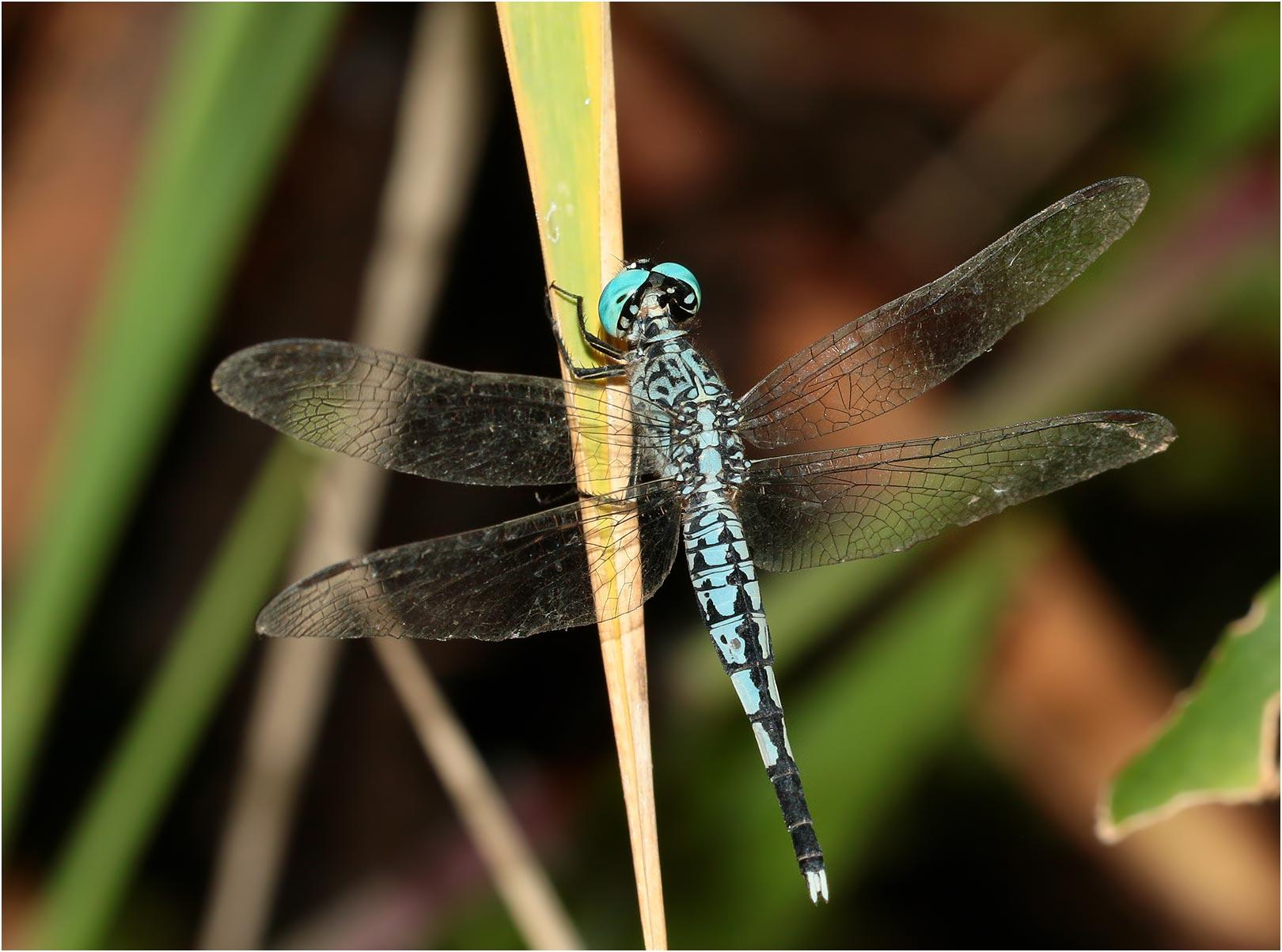 Acisoma panorpoides mâle, Vietnam.