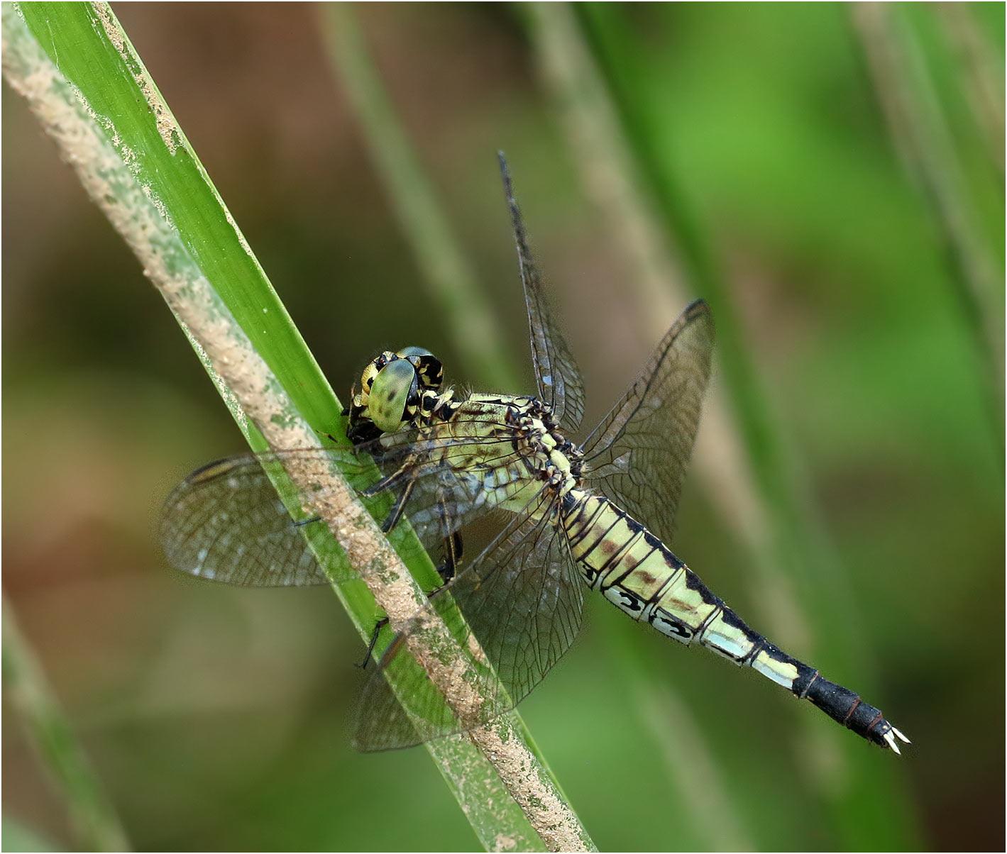 Acisoma panorpoides femelle au Vietnam, Pia Oac.
