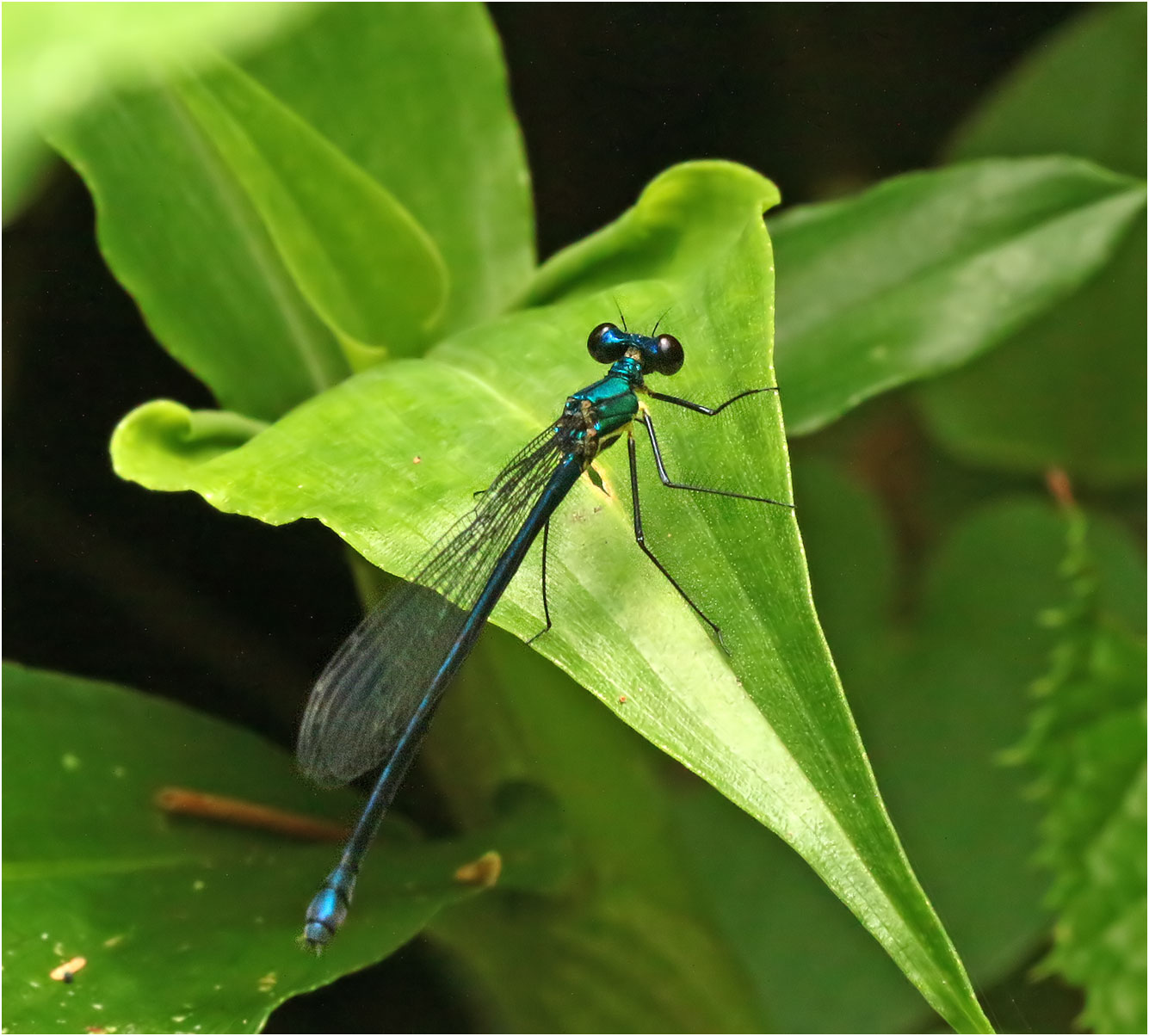 Caliphaea thailandica au Vietnam