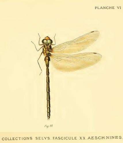 Periaeschna magdalena femelle, Tonkin, Marin in Selys