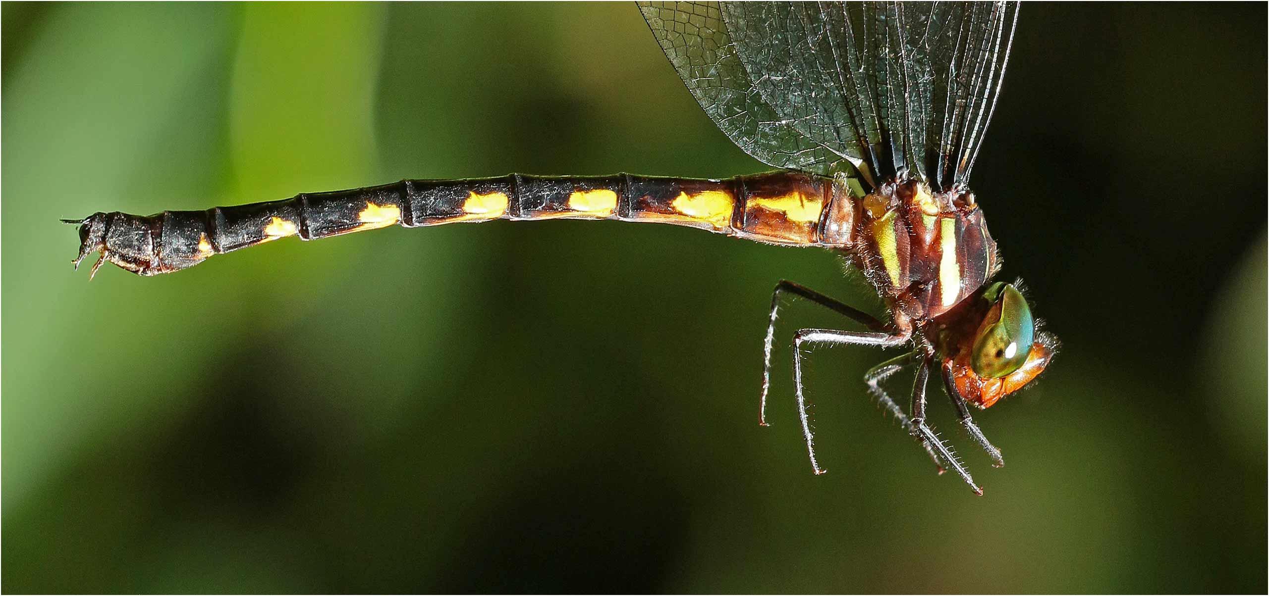 Periaeschna magdalena femelle, Vietnam, Pia Oac, 5 juin 2018