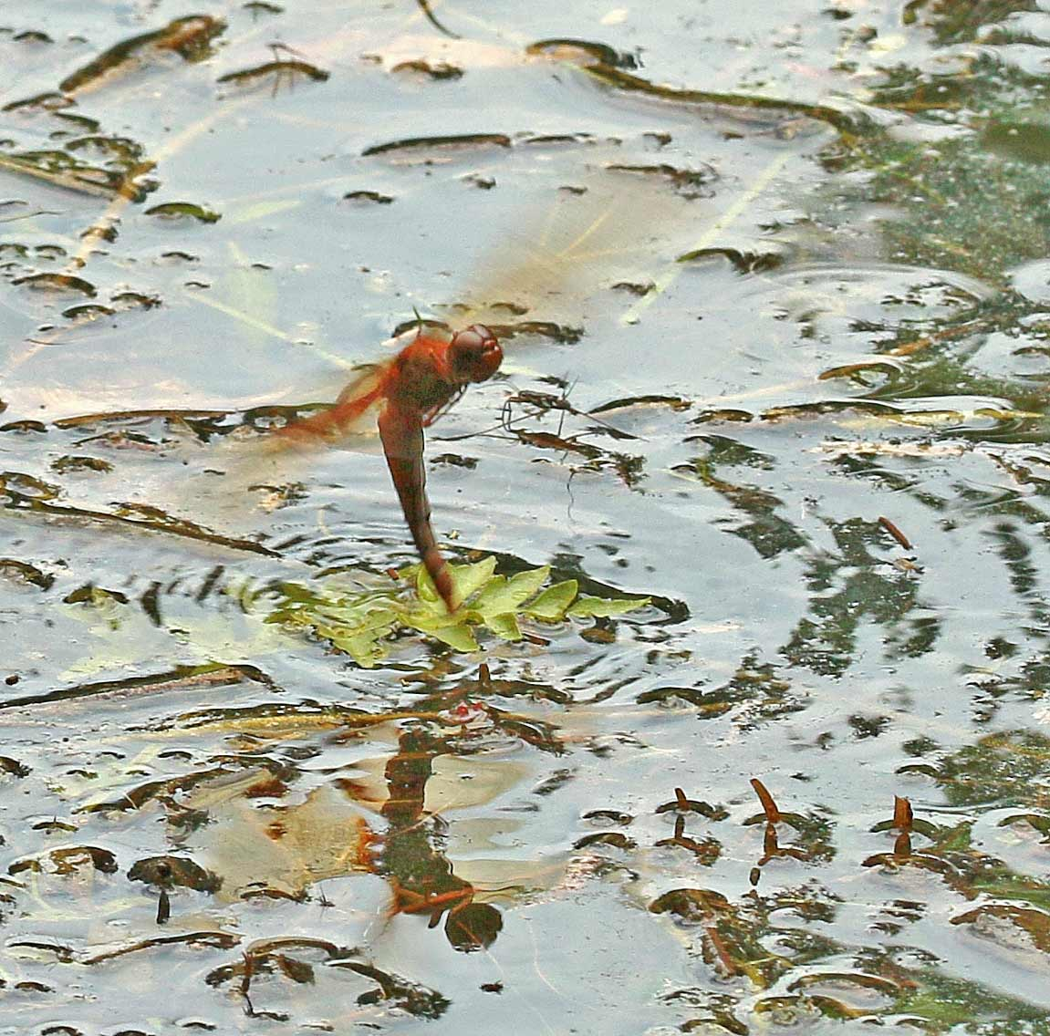 Tramea trnasmarina femelle en ponte, Vietnam, Cuc Phong, 14 juin 2018