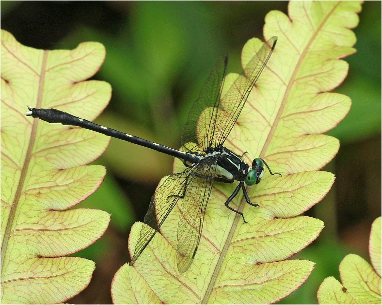 Photo de Trigomphus carus, Vietnam, Pia Oac, 5 juin 2018