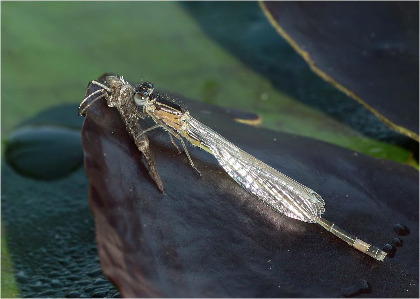 Émergence tardive d'un Ischnura elegans mâle, Beaupréau (France - 49)