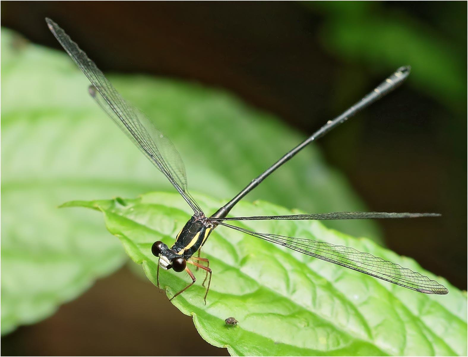Rhipidolestes owadai mâle, Vietnam, Pia Oac, 05/06/18
