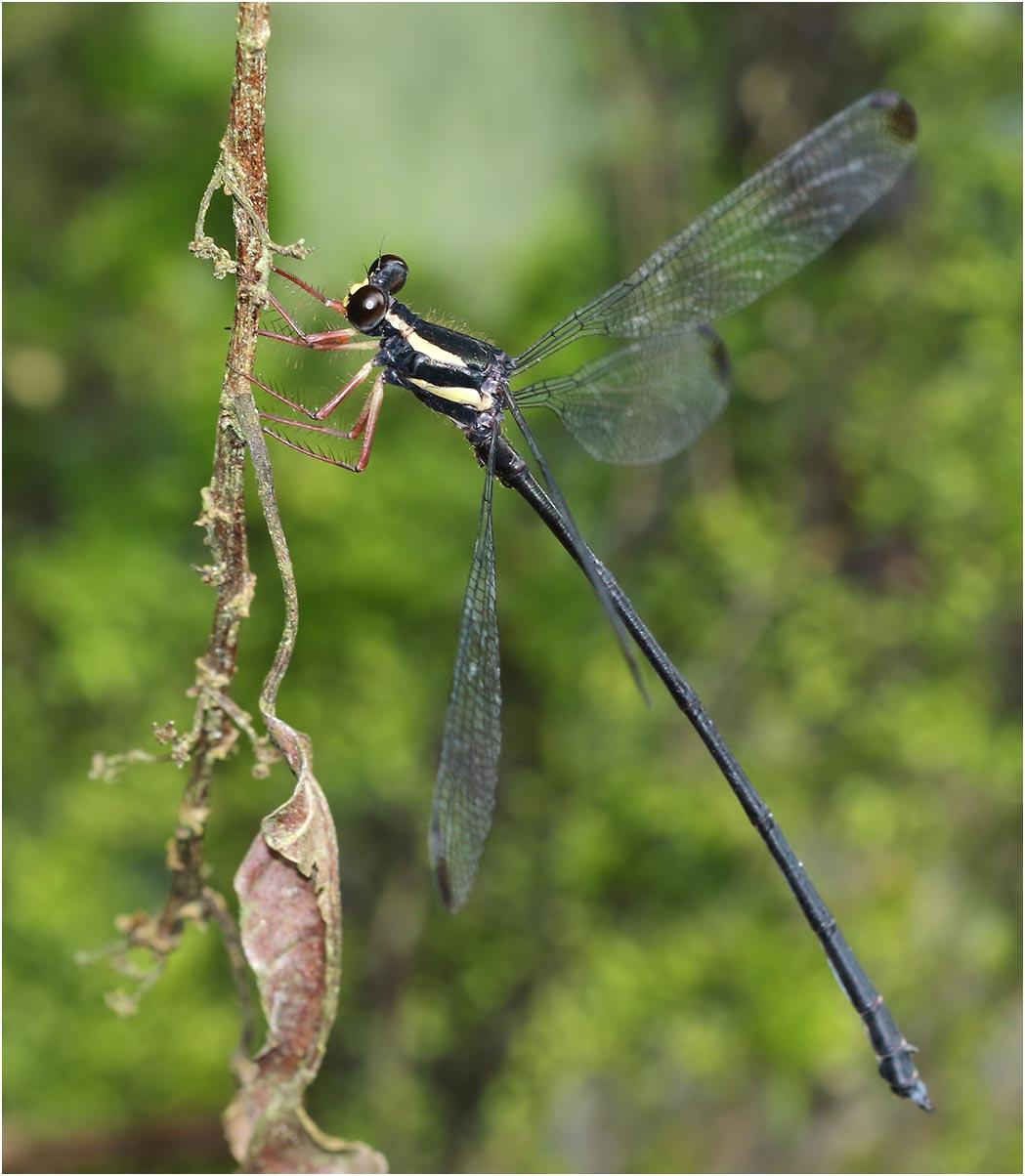 Rhipidolestes owadai mâle, Vietnam, Khau Pha, 10/06/18