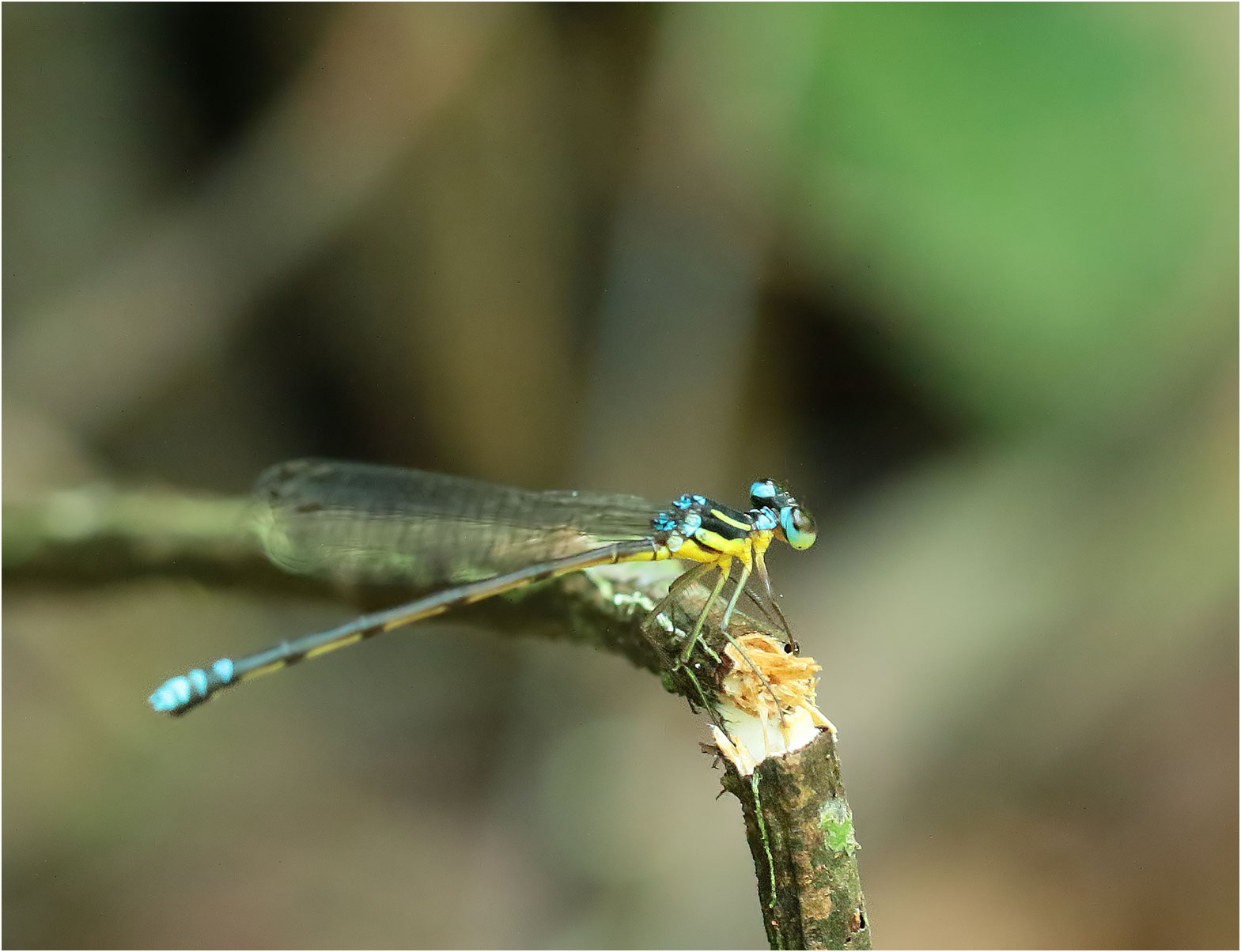 Sinosticta debra femelle, Vietnam, Xuan Son, 08/06/2018