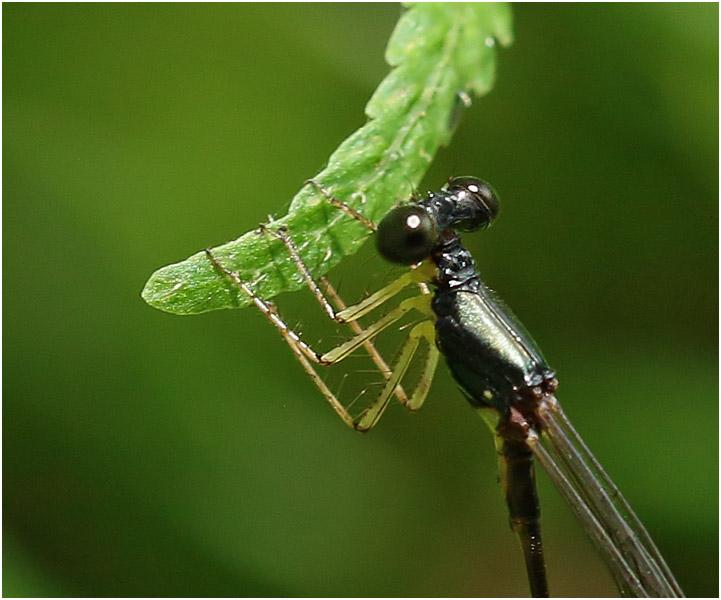 Protosticta nigra mâle, Vietnam, Pia Oac, 05/06/2018