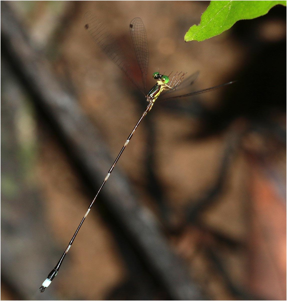 Protosticta satoi mâle, Vietnam, Cuc Phong, 14/06/2018