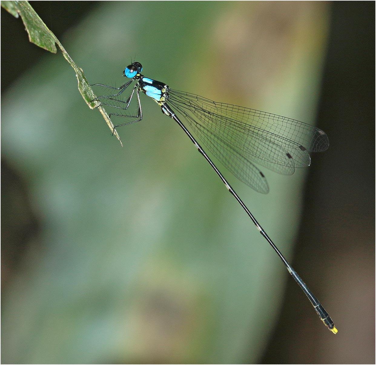 Coeliccia sasamotoi mâle, Vietnam, Xuan Son, 09/06/2018