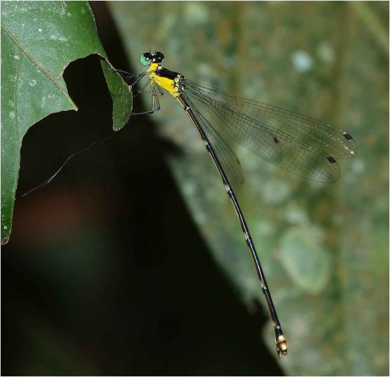 Coeliccia sasamotoi femelle, Vietnam, Xuan Son, 09/06/2018