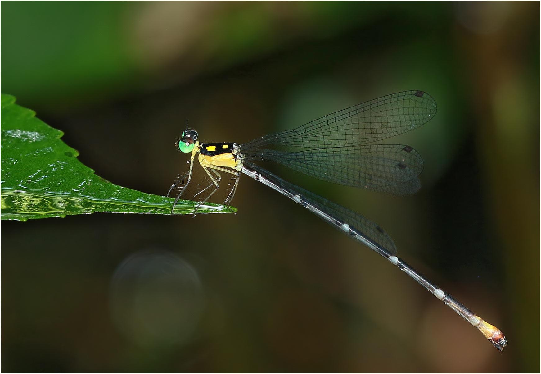 Coeliccia sp. nov. 'p' femelle, Vietnam, Huu Lien, 03/06/2018