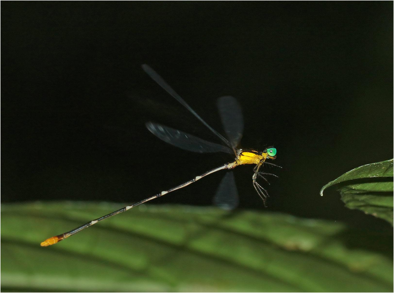 Coeliccia sp. nov. 'p' mâle, Vietnam, Cuc Phuong, 14/06/2018