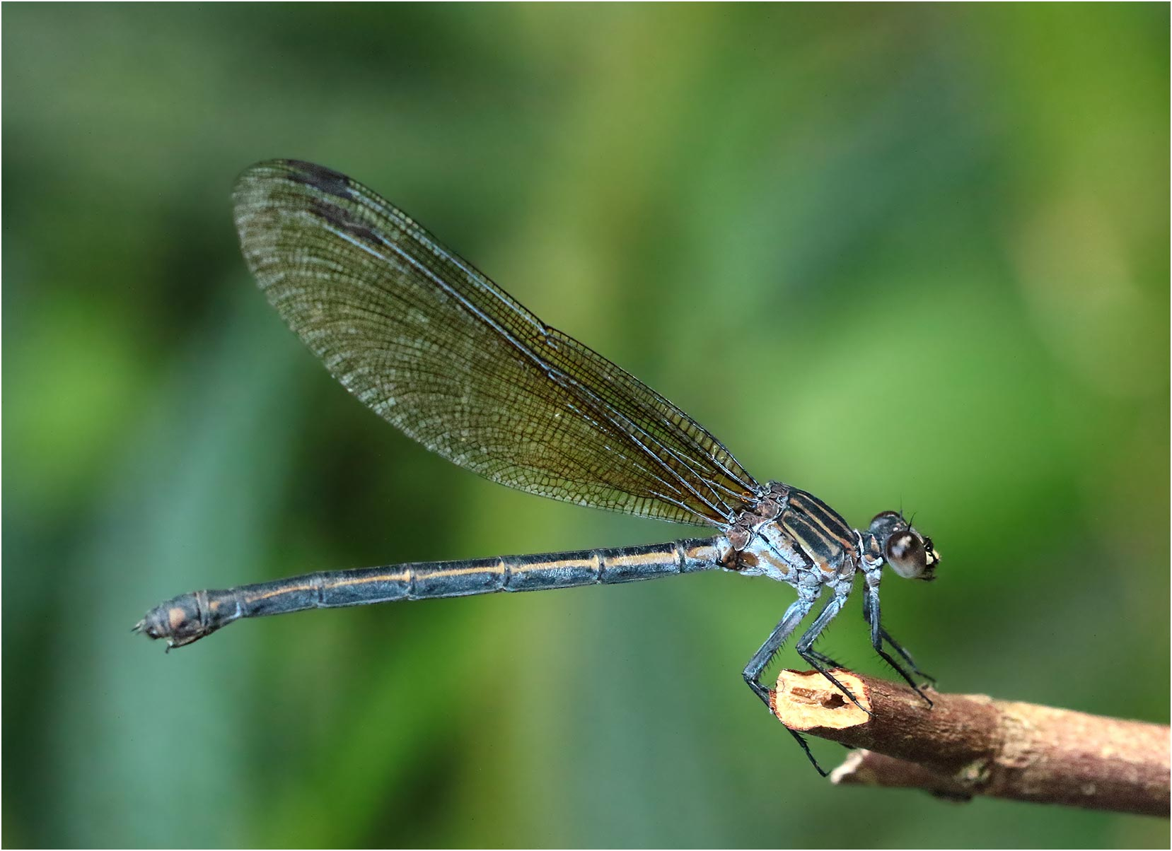 Euphaea decorata femelle, Vietnam, Xuan Son, 08/06/2018