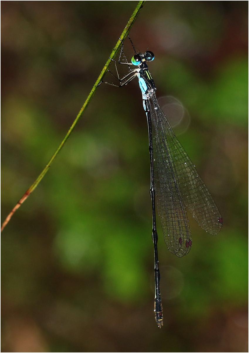 Coeliccia hoanglienensis mâle, Vietnam, Hoang Lien National Park, 12/06/2018