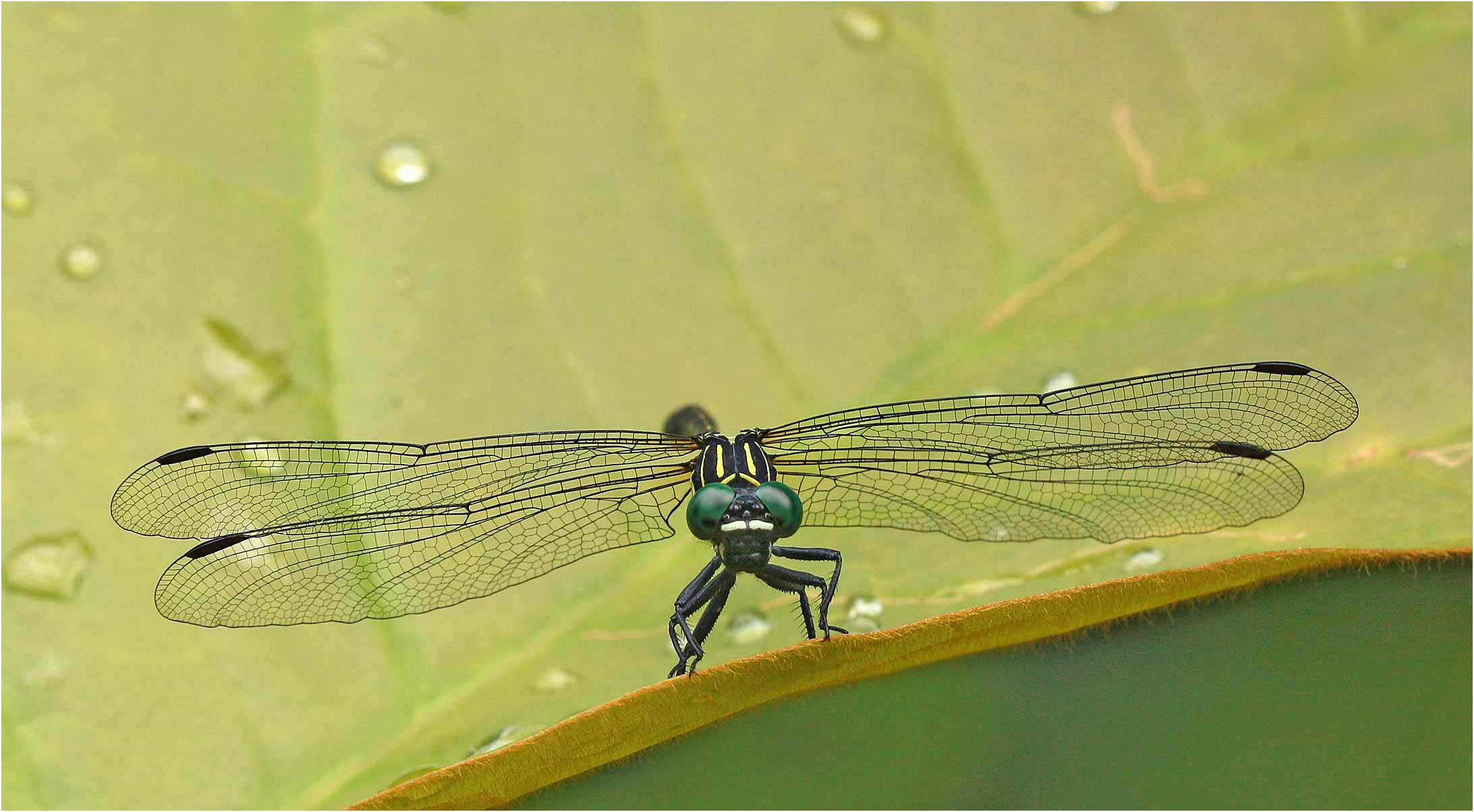 Leptogomphus sp. mâle, Vietnam, Pia Oac, 05/06/2018