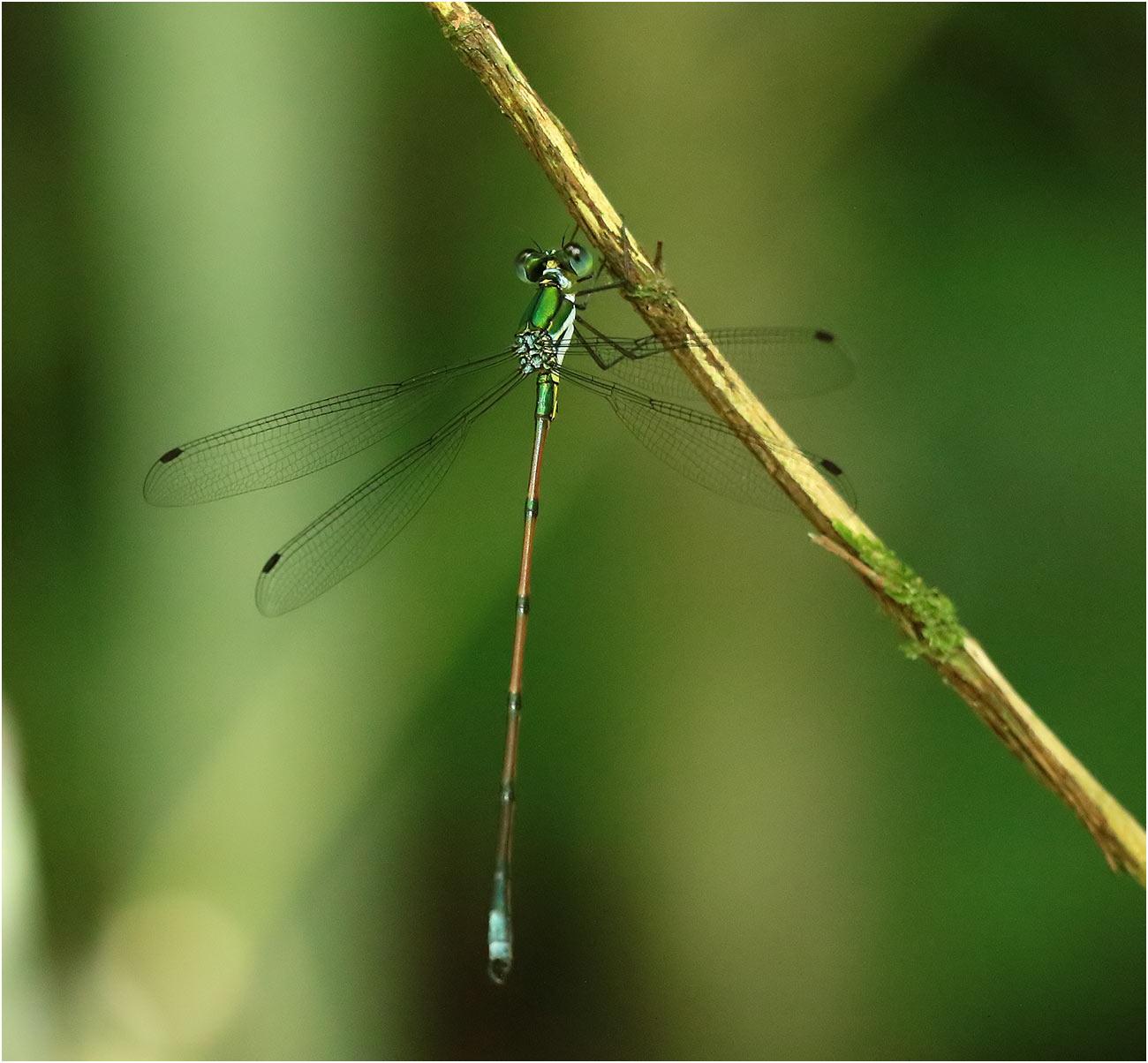 Megalestes distans mâle, Vietnam, Pia Oac, 05/06/2018