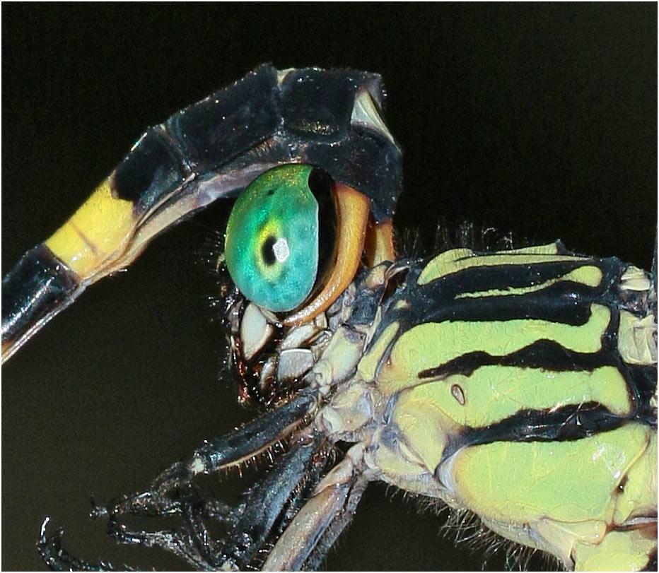 Phaenandrogomphus tonkinicus accouplement, Vietnam, Xuan Son, 08/06/2018
