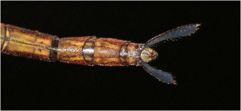 Gynacantha bayadera femelle, appendices anaux, Vietnam, Cuc Phuong, 13/06/2018