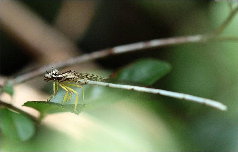 Copera vittata mâle immature, Vietnam, Huu Lien, 03/06/2019
