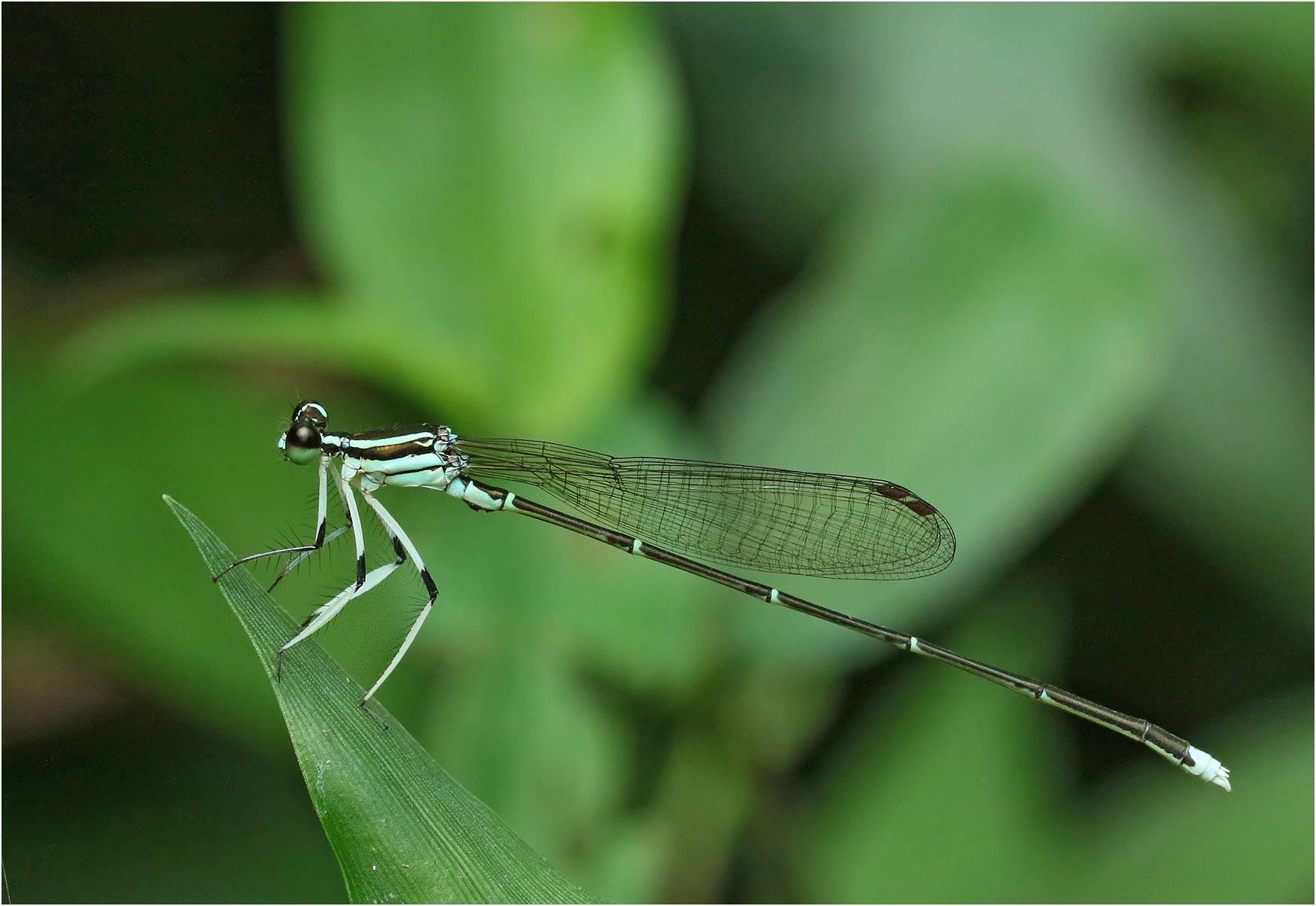 Pseudocopera ciliata mâle, Vietnam, Xuan Son, 08/06/2018