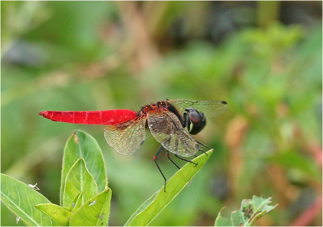 Aethriamanta brevipennis, Vietnam, Van Long, 15/06/2018