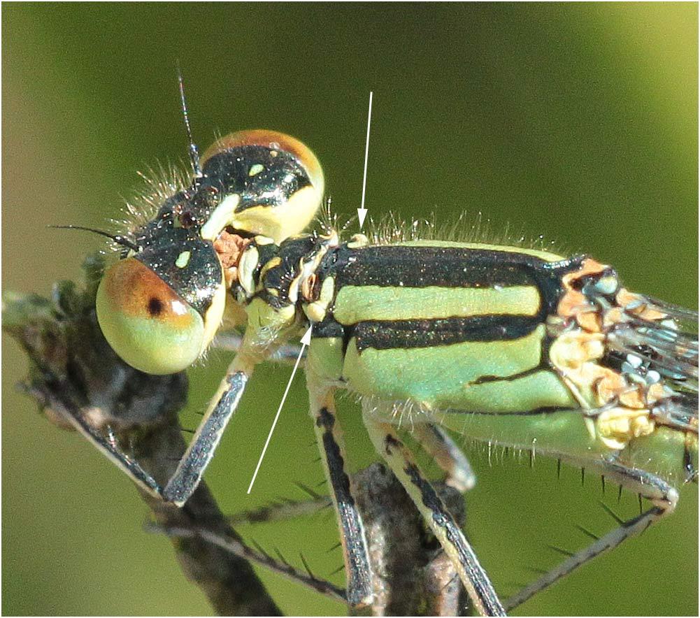 Erythromma lindenii femelle, France (49), 09/08/2012