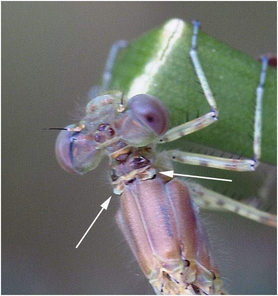 Erythromma lindenii femelle émergente, France (49), 18/05/2008