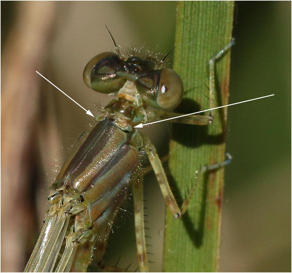 Identification des femelles Erythromma lindenii