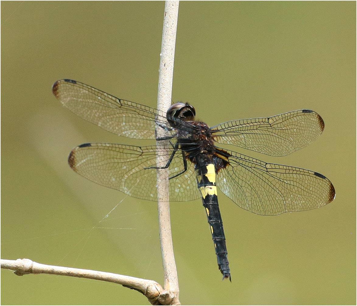 Pseudothemis zonata femelle, Vietnam, Pia Oac, 05/06/2018
