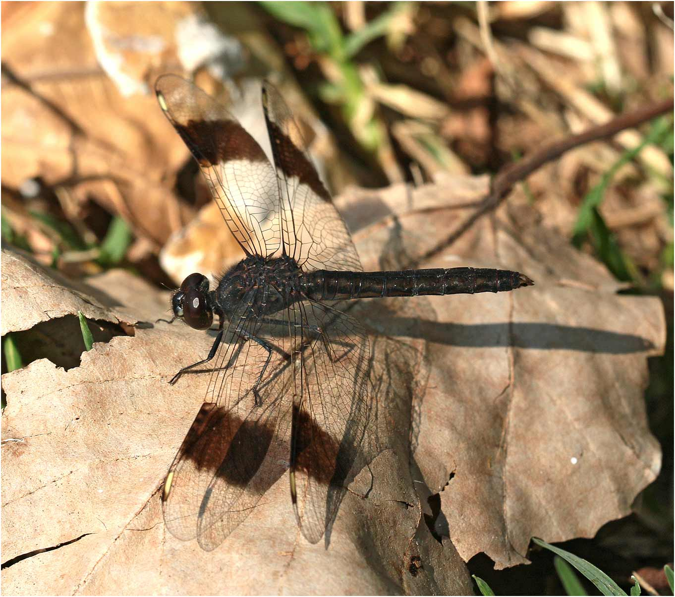 Brachythemis leucosticta mâle, Ethiopie, lac Awasa, 31/10/2018