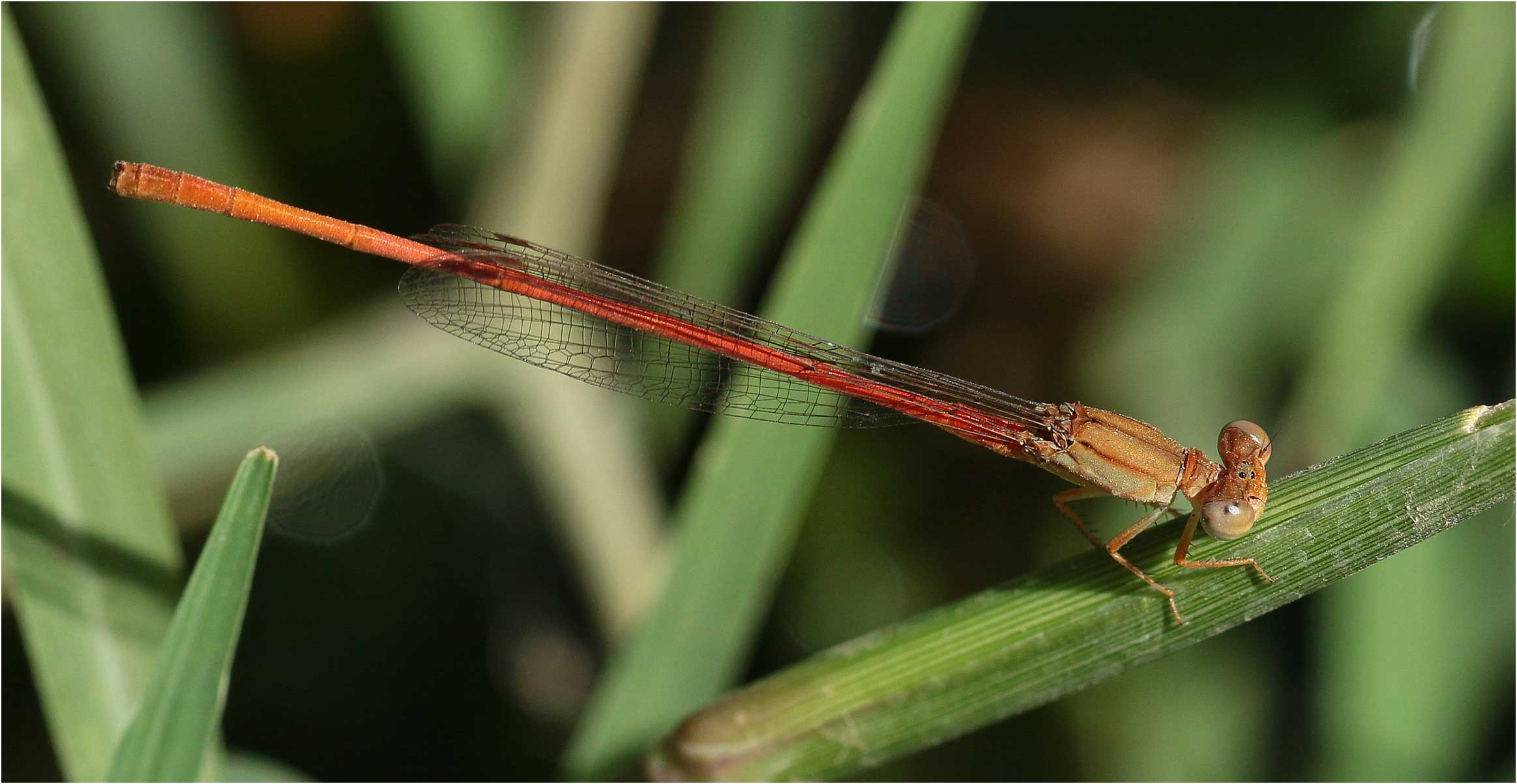 Ceriagrion glabrum, Ethiopie, lac Awash, 01/11/2018