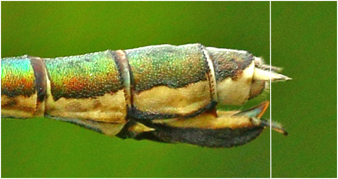 Lestes dryas femelle, ovipositeur, lac de Bourdouze (63), 22/07/2017