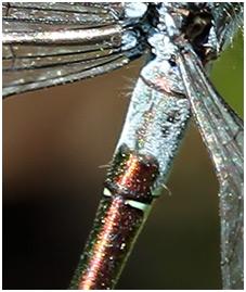 L. dryas, 2° segment abdominal