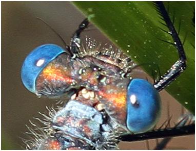 Lestes dryas et ses yeux bleu céramique.