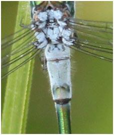 L. sponsa, 2° segment abdominal