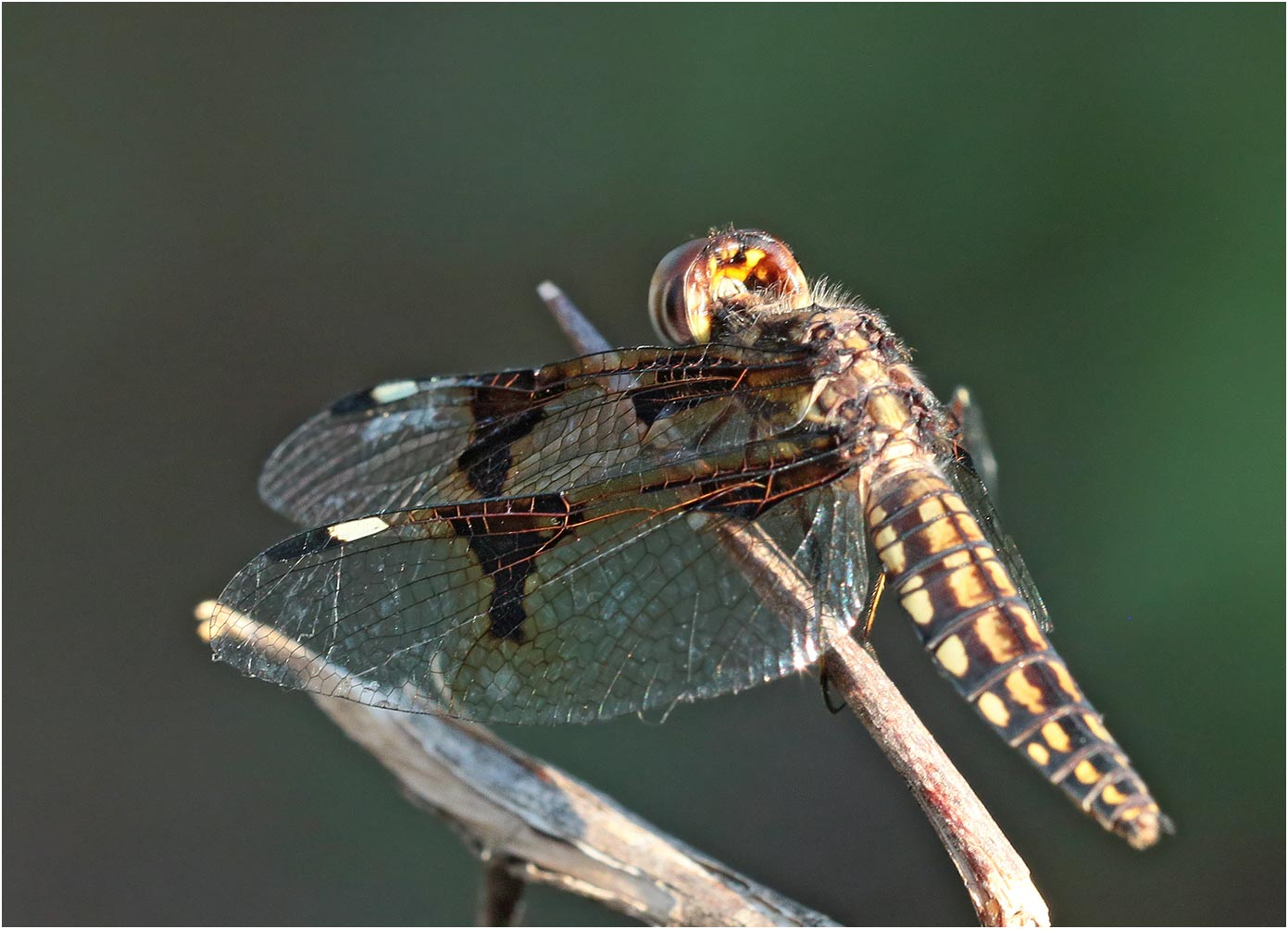 Palpopleura portia femelle, Ethiopie, lac Abaya, 22/10/2018