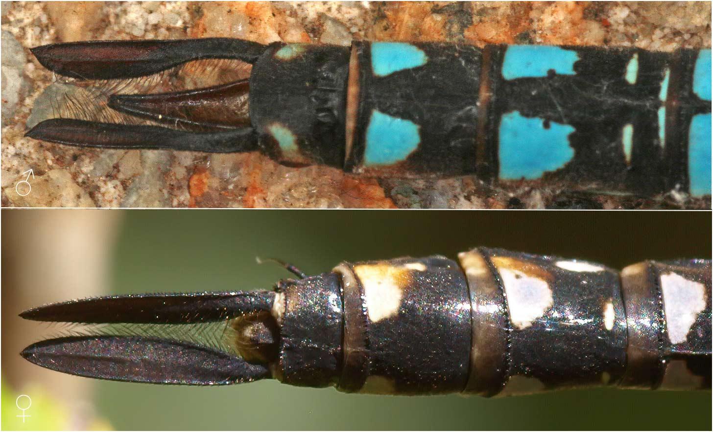 Aeshna mixta mâle et femelle, appendices anaux, France