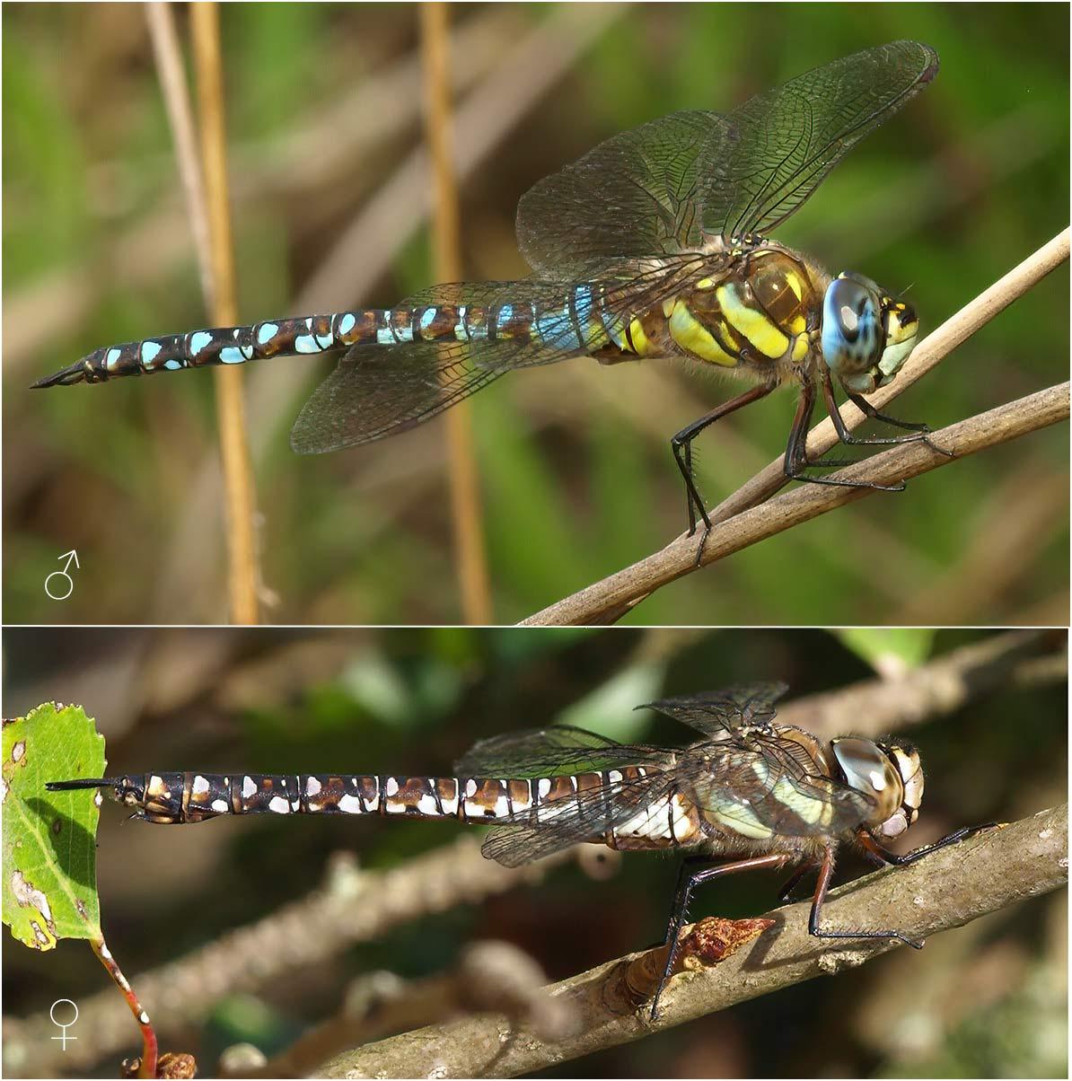 Aeshna mixta mâle et femelle, France