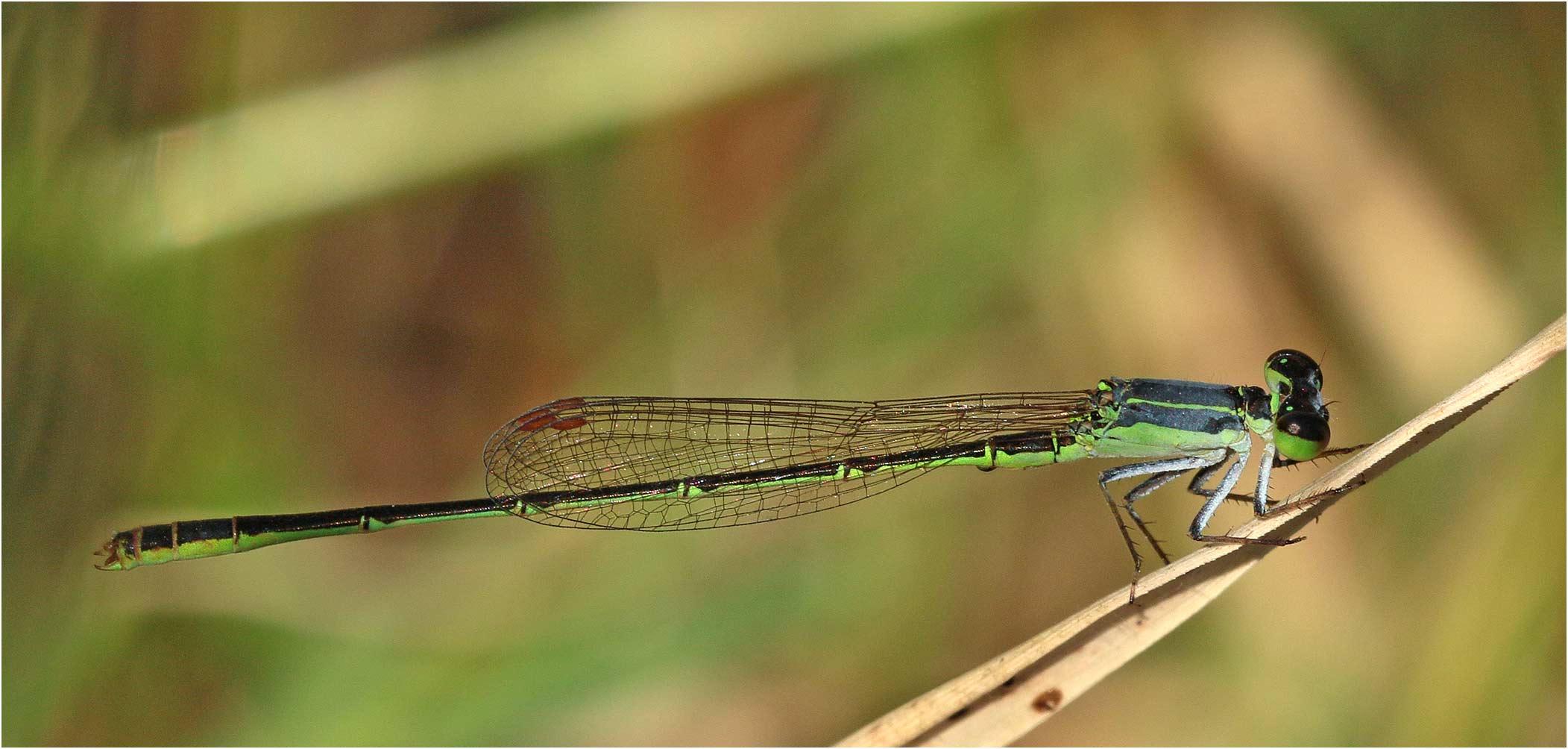 Agriocnemis inversa mâle, Ethiopie, lac Langano, 31/10/2018