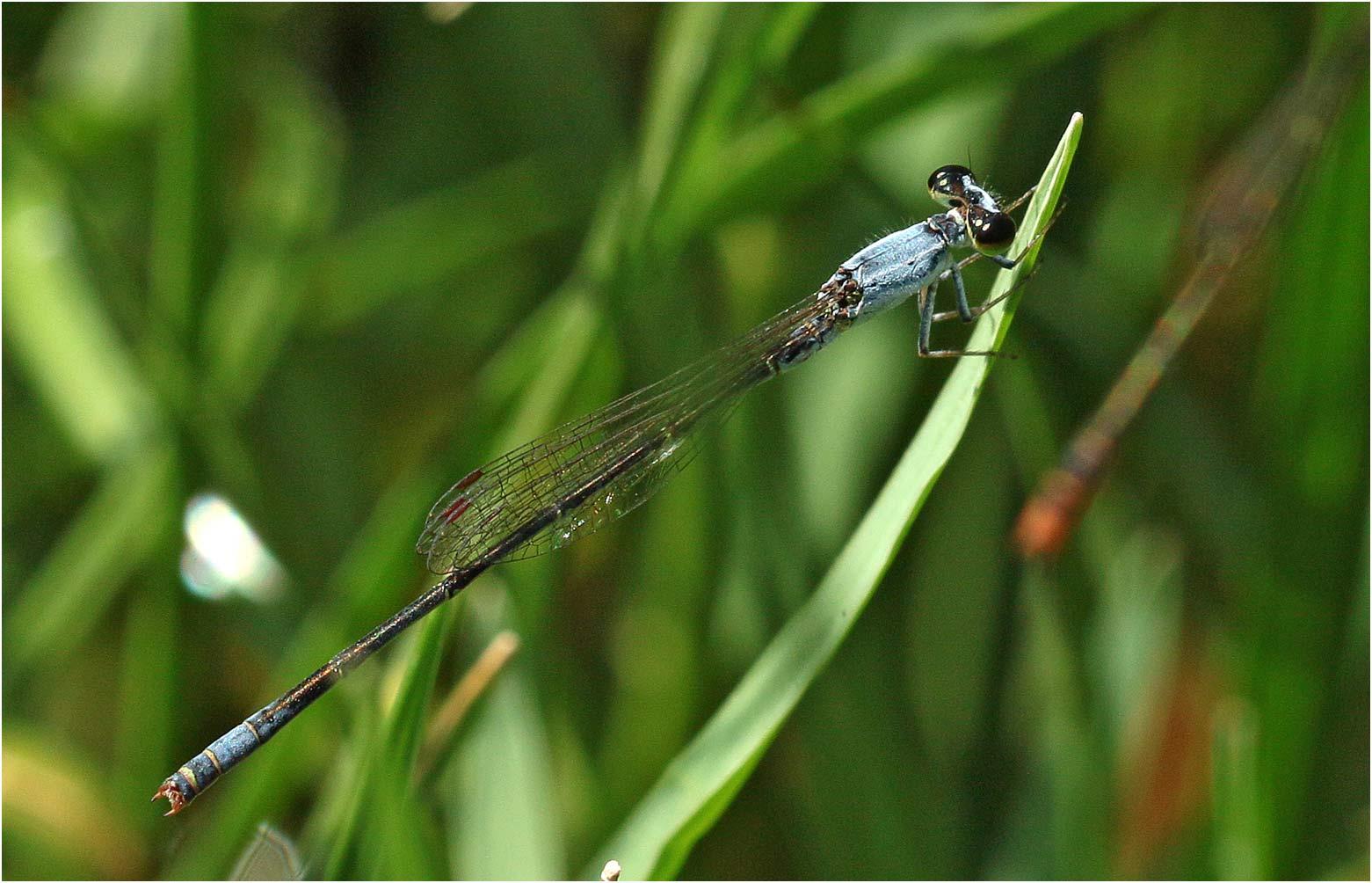 Agriocnemis inversa mâle, Ethiopie, lac Awasa, 31/10/2018
