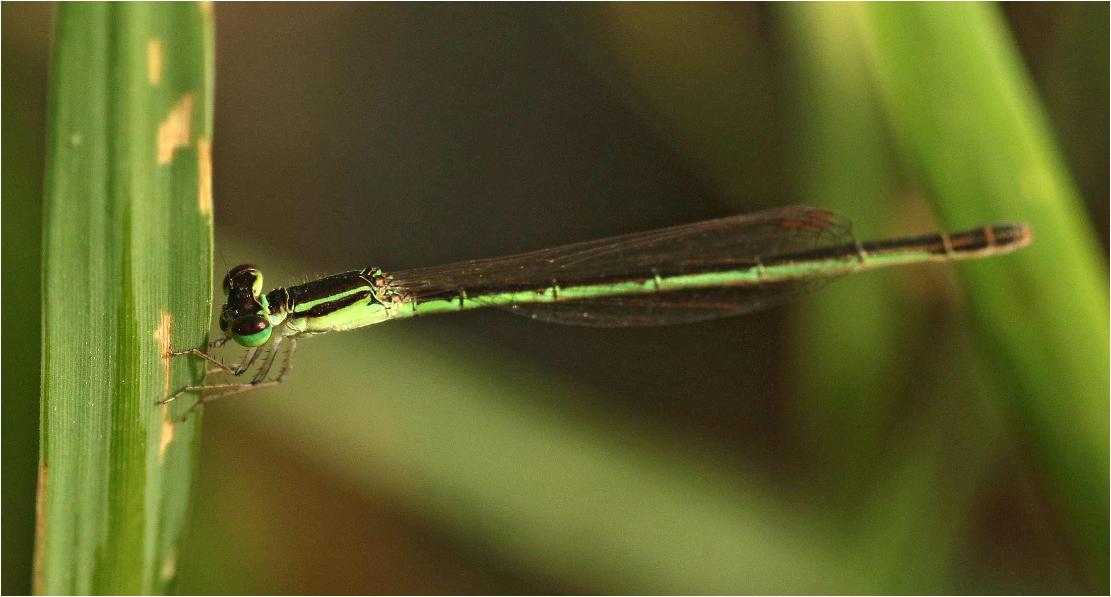 Agriocnemis inversa femelle, Ethiopie, lac Langano, 31/10/2018
