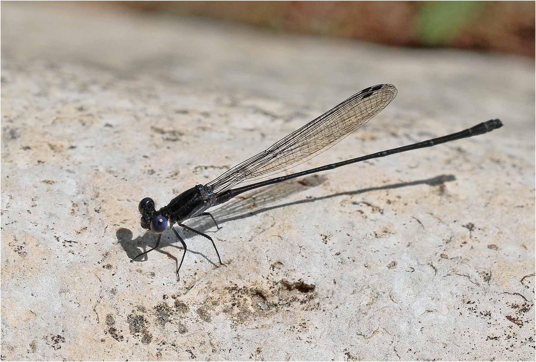 Argia translata mâle, Mexique, Palenque (Chiapas), Rio Chacamax, 29/10/20019