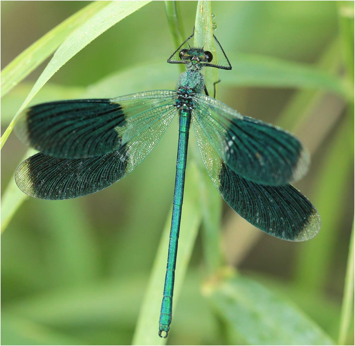 Calopteryx splendens mâle, Le Fief Sauvin (France-49), 21/07/2012