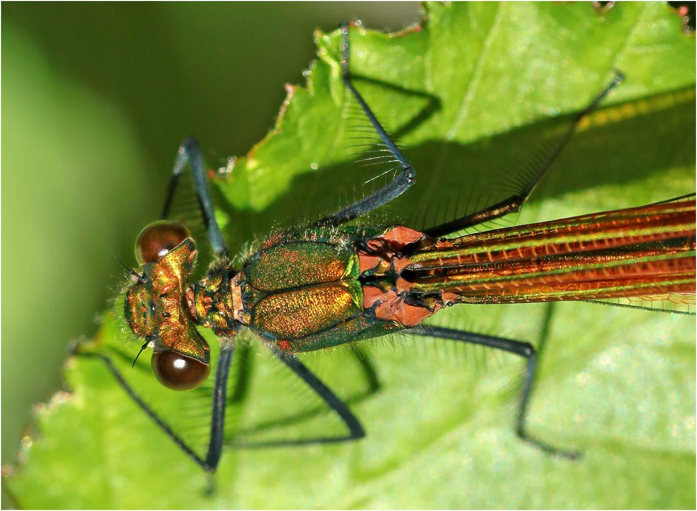 Calopteryx virgo femelle immature, Beaupréau en Mauges (France-49), 19/05/2021