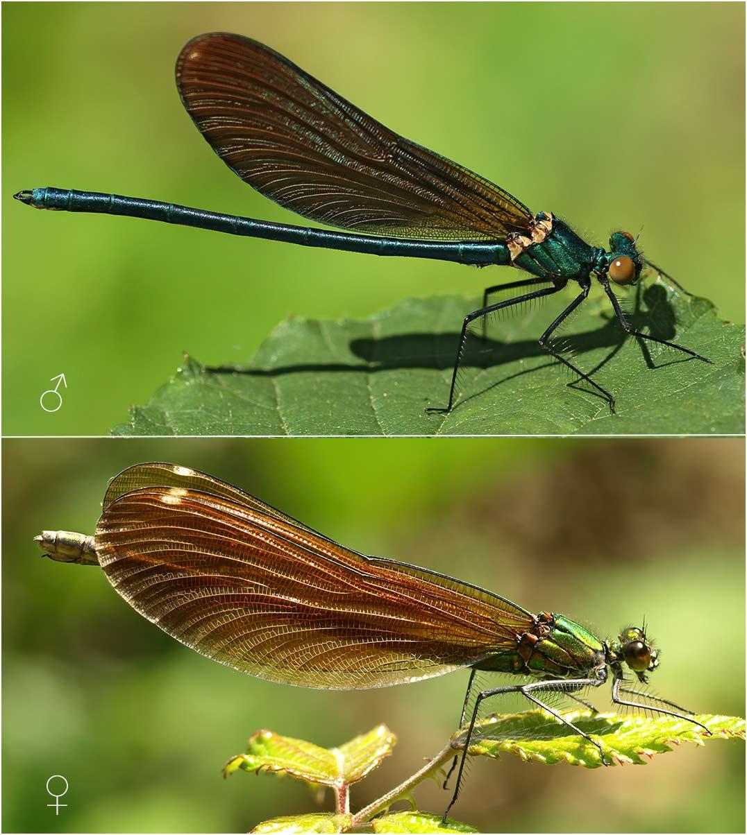 Calopteryx virgo mâle et femelle, France