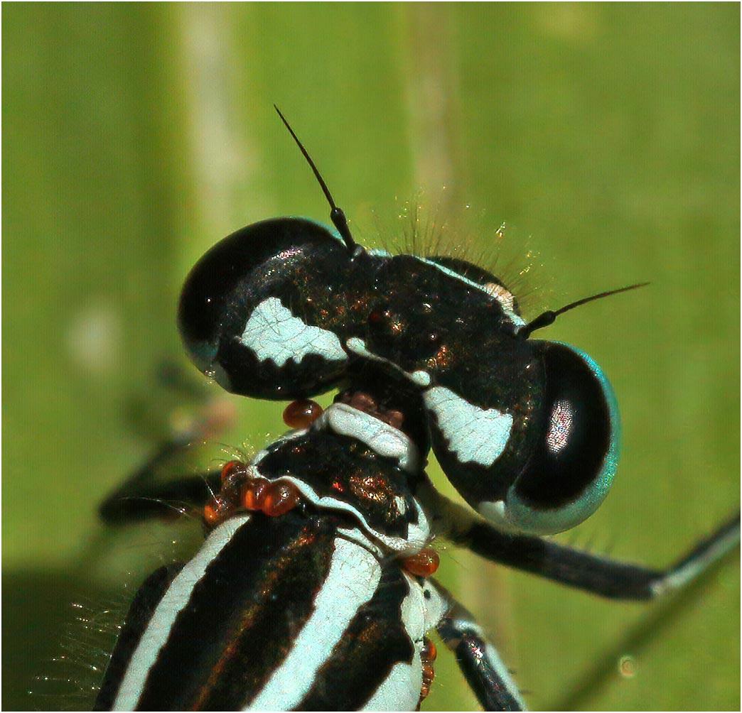 Coenagrion puella femelle, Beaupréau en Mauges (France-49), 19/05/2021