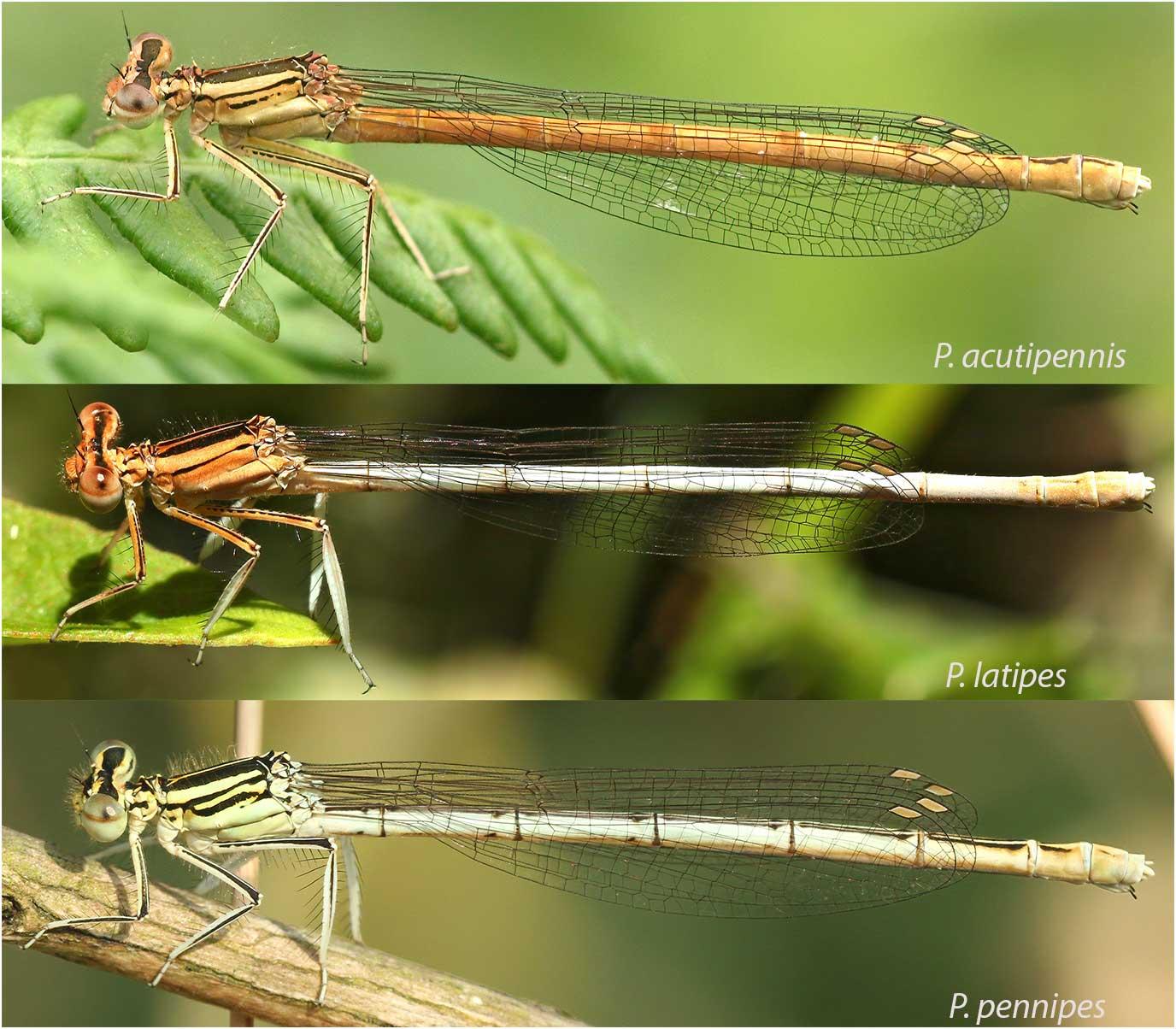 Comparaison des 3 Platycnemis européens, acutipennis, latipes et pennipes